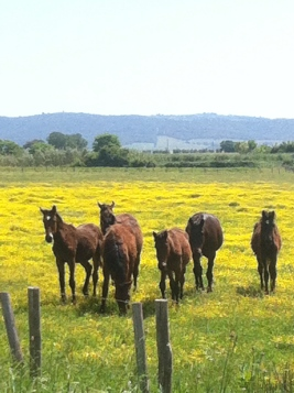 Maremma yearlings.