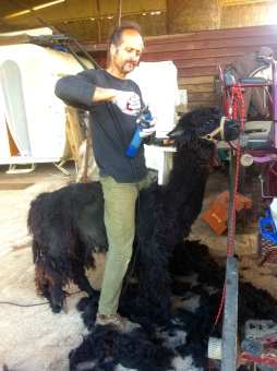 Sheering the alpaca.