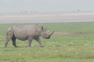 2 of 26 remaining Black Rhino in Ngorogoro Crater, Tanzania